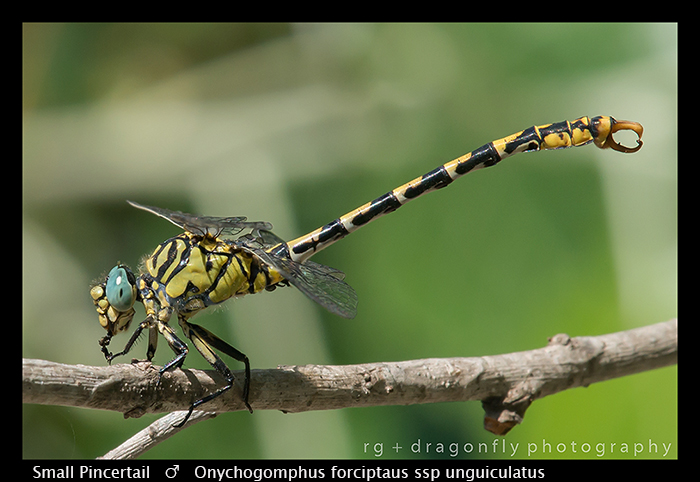 Onychogomphus forcipatus ssp unguiculatus (m) Small Pincertail WP 8- 3- 8064
