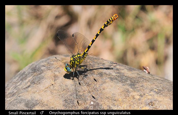 Onychogompus forcipatus ssp unguiculatus -Small Pincertail WP