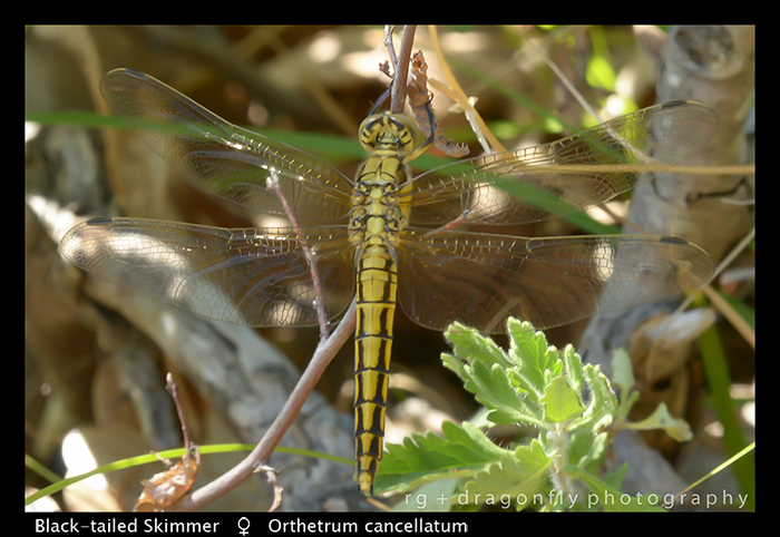 Orthetrum cancellatum (f) Black-tailed Skimmer WP 8-8562