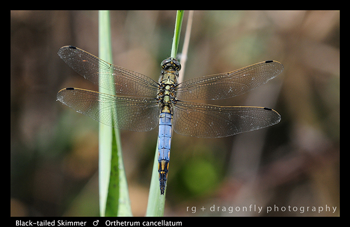 Orthetrum cancellatum (m) Black-tailed Skimmer WP