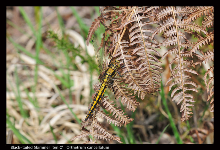 Orthetrum cancellatum (ten m) Black-tailed Skimmer D 1 CS5 A P9-700x478