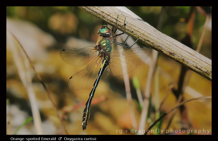 Oxygastra curtisii (m) Orange - spotted Emerald D 5704 -1-2-700x454