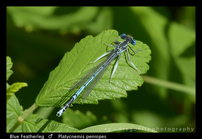 Platycnemis pennipes (m) Blue Featherleg WP 8-3-8378