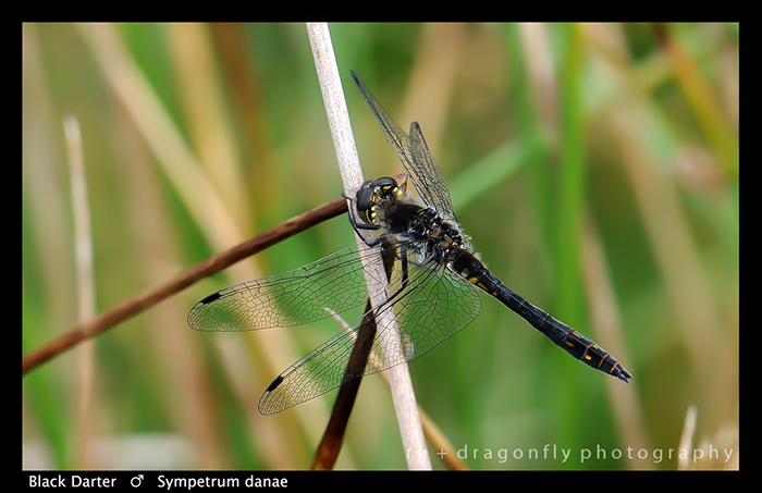 Sympetrum danae (m) Black Darter WP