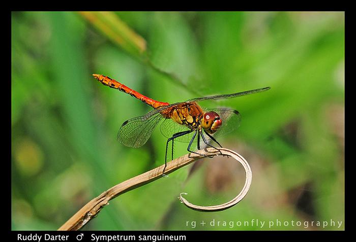 Sympetrum sanguineum (m) Ruddy Darter D 4840 WP