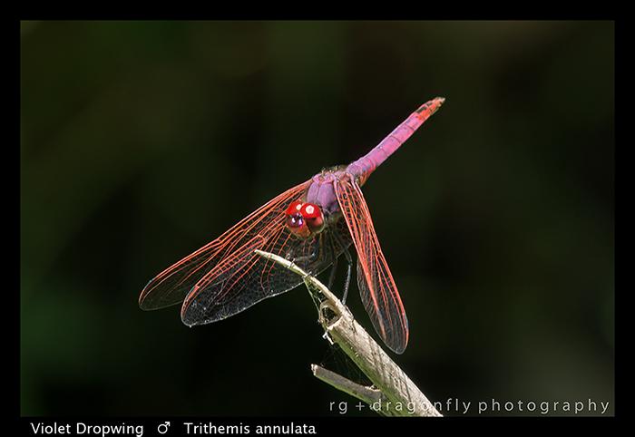 Trithemis annulata (f) Violet Dropwing WP 8-3-8083