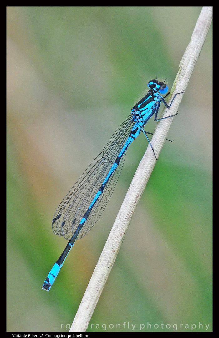 Coenagrion pulchellum Variable Bluet (m) D6 A CS5-1-700x1078