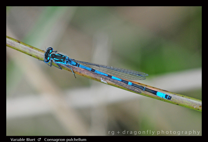 Coenagrion pulchellum Variable Bluet (m) D7 A CS5-1-700x477