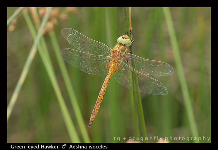 Aeshna isoceles (m) Green-eyed Hawker 8-0440 WP