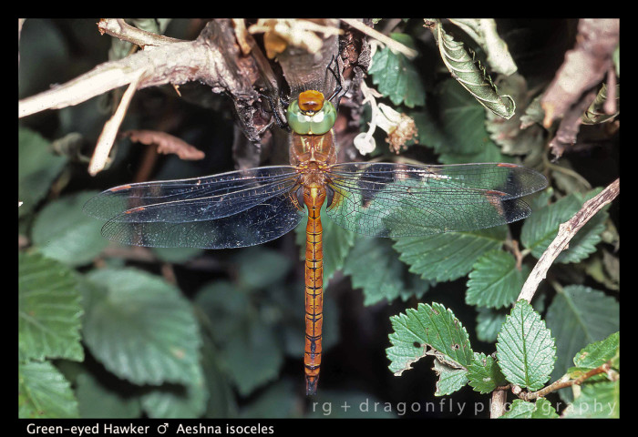 Aeshna isoceles (m) Green-eyed Hawker S 430 A CS5-Edit-1.jpg