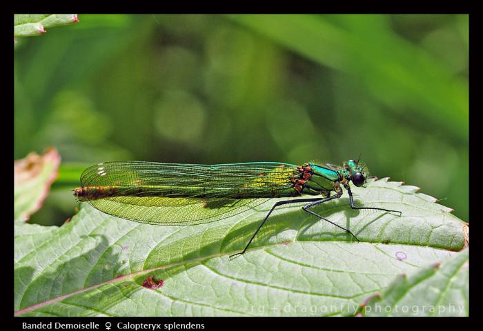 Calopteryx splendens (f) Banded Demoiselle D 1 CS 5-1