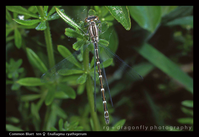 Enallagma cyathigerum (ten f) Common Bluet S 375 CS5-1.jpg