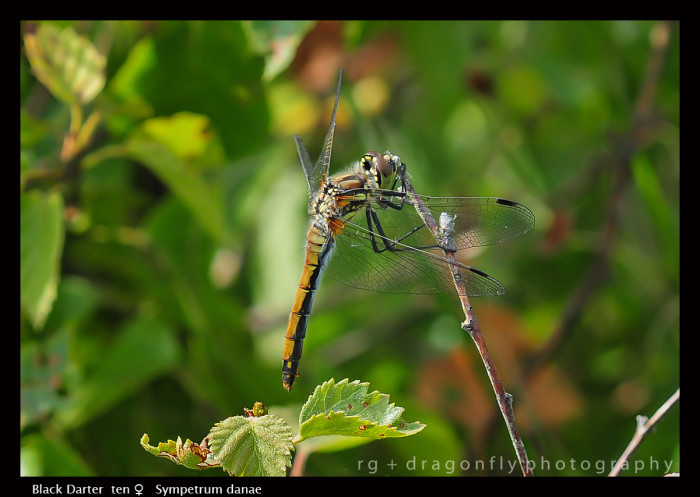 Sympetrum danae (ten f) Black Darter D 4729 CS5-1.jpg