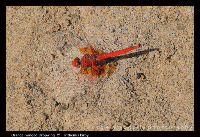 Trithemis kirbyi (m) Orange-winged Dropwing 4-1.jpg