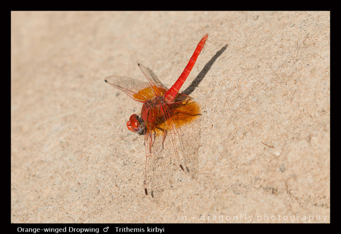 Trithemis kirbyi (m) Orange-winged Dropwing 8-0972.jpg