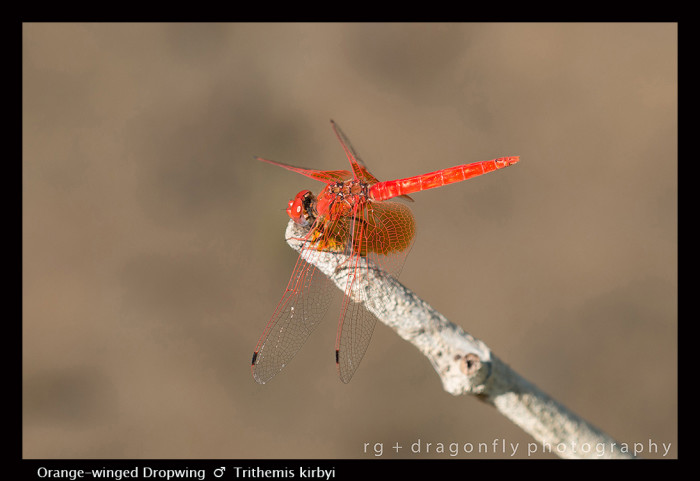 Trithemis kirbyi (m) Orange-winged Dropwing 8-0995.jpg