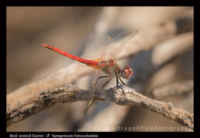 Sympetrum fonscolombii (m) Red -veined Darter 8-1078 .jpg