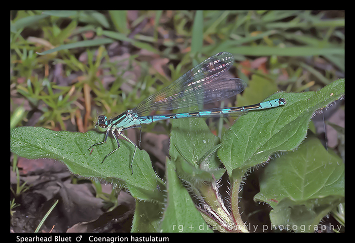 Coenagrion hastulatum (m) Spearhead Bluet 625 CS5-1 700