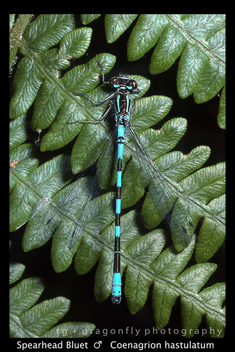Coenagrion hastulatum (m) Spearhead Bluet S 624 A CS5-1- 700