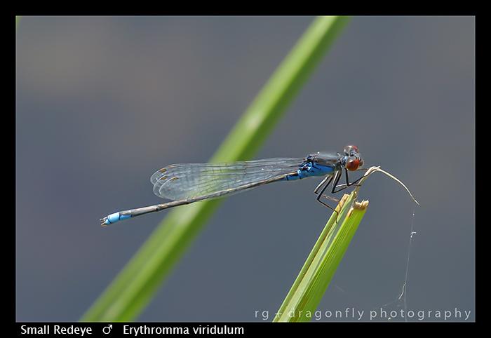 Erythromma viridulum (m) Small Redeye WP 8-8639