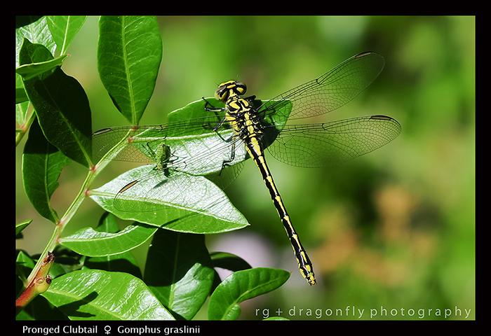 Gomphus graslinii (f) Pronged Clubtail D 5580 A 700