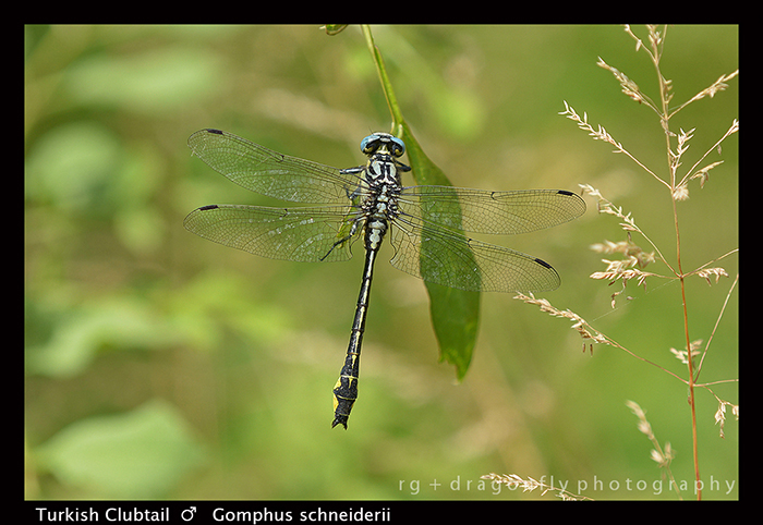 Gomphus schneiderii (m) Turkish Clubtail 8-0378 W 700