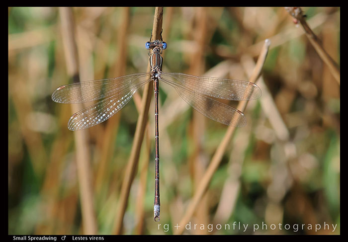 Lestes-virens-(m)-Small-Spreadwing-D2-P9-A-1-2-700
