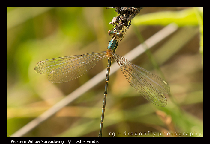 Lestes viridis (f) Western Willow Spreadwing 8-1824 WP