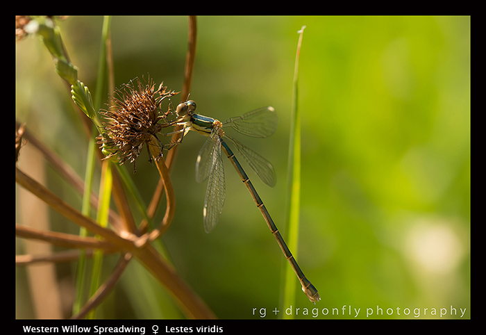 Lestes viridis (f) Western Willow Spreadwing 8-1825 WP