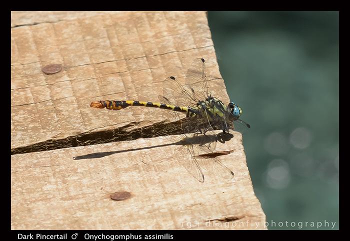 Onychogomphus uncatus (ten f) Large Pincertail 8-0637 700
