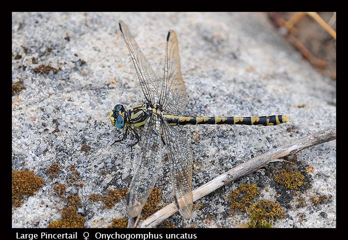 Onychogomphus uncatus (f) Large Pincertail D 5167 CS5 -1 700