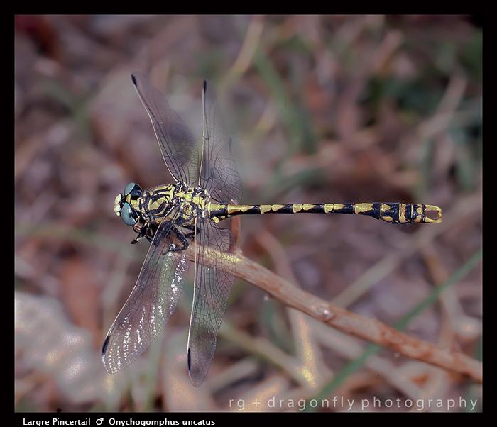 Onychogomphus uncatus (m) Large Pincertail S 500 CS5-1 700
