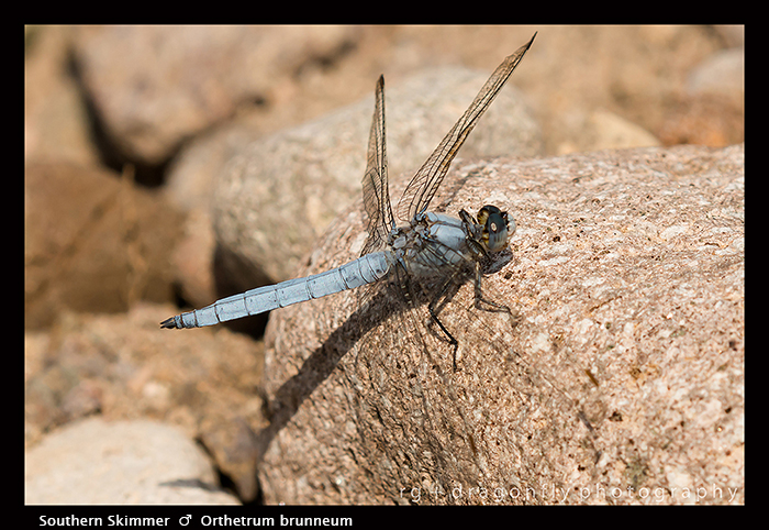 Orthetrum brunneum (m) Southern Skimmer 8-1805 WP
