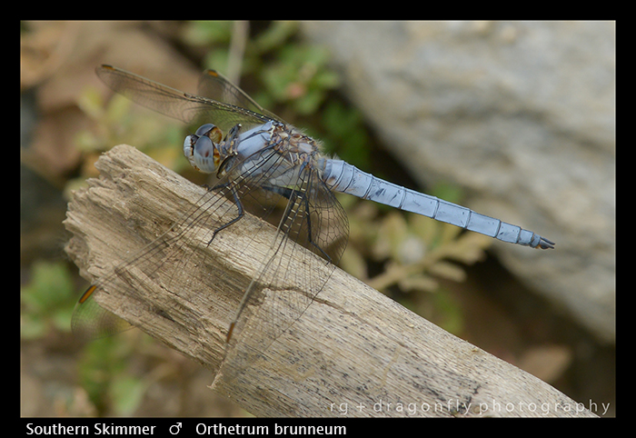 Orthetrum brunneum (m) Southern Skimmer WP 8-3-8352