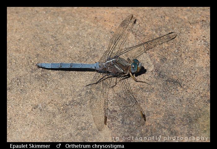 Orthetrum chrysostigma (m) Epaulet Skimmer WP 8-3-8030