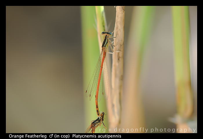 Platycnemis acutipennis (in cop) Orange Featherleg D 5830 A-1-700