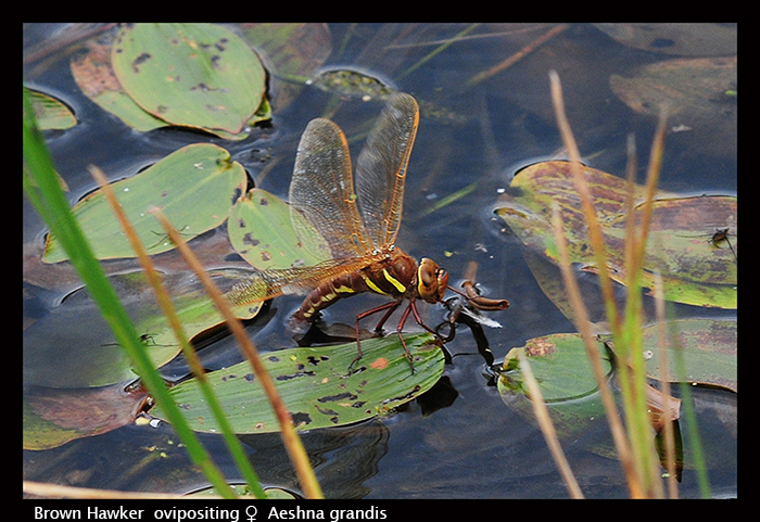 Aeshna grandis (f ovi) Brown Hawker D 5362 WP