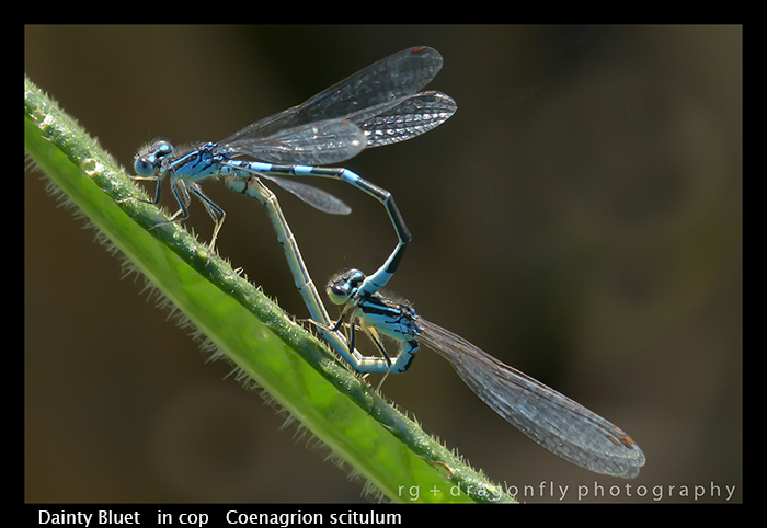 Coenagrion scitulum - in cop - Dainty Bluet WP 8-8651