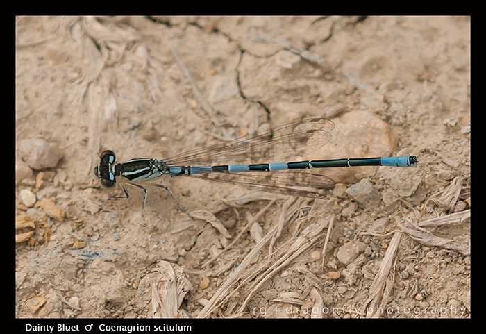 Coenagrion scitulum - m - Dainty Bluet 3-6427 WP