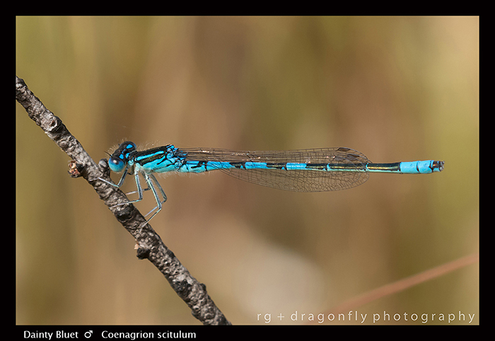Coenagrion scitulum - m - Dainty Bluet 8-1371 WP