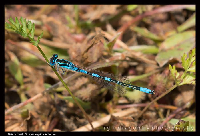 Coenagrion scitulum - m - Dainty Bluet 8-1402 WP