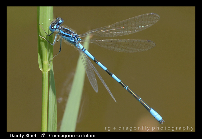 Dainty Bluet - (m) - Coenagrion scitulum WP 8-8471