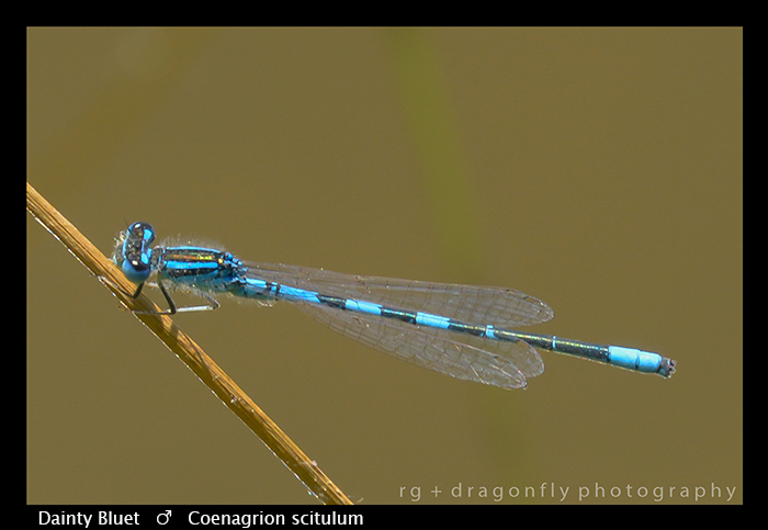 Dainty Bluet - (m) - Coenagrion scitulum WP 8-8556