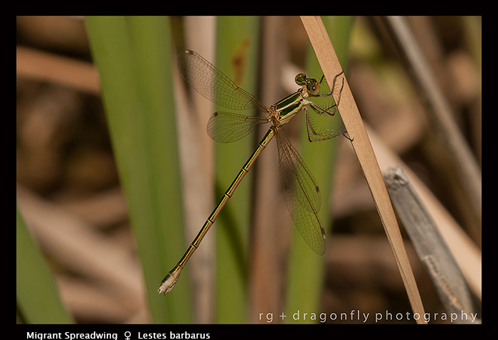 Lestes barbarus - f - Migrant Spreadwing 3-6389 WP