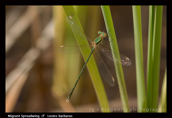 Lestes barbarus - m - Migrant Spreadwing 8-1566 WP
