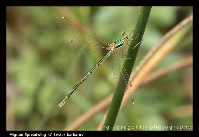 Lestes barbarus - m - Migrant Spreadwing 8-1711 WP