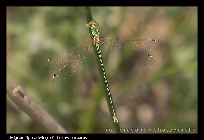 Lestes barbarus - m - Migrant Spreadwing 8-1817 WP