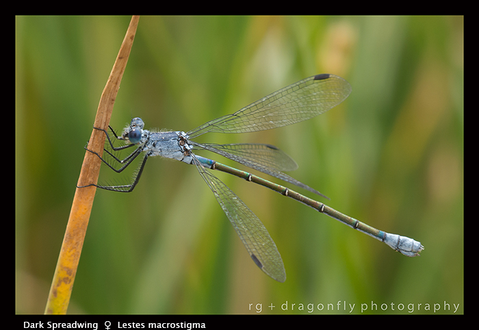 Lestes macrostigma - f- Dark Spreadwing 8-1437 WP