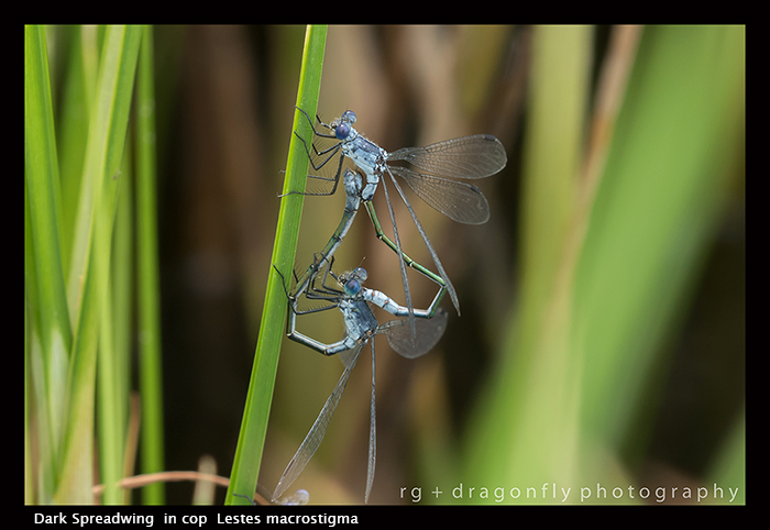 Lestes macrostigma - in cop - Dark Spreadwing 8-1493 WP