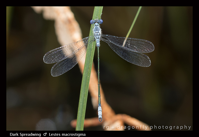 Lestes macrostigma - m - Dark Spreadwing 8-1417 WP